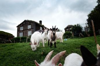 Glade geiter på tunet